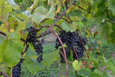 Grapes just before harvest
